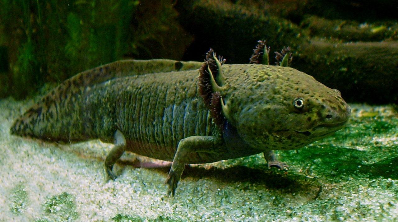 1280px-axolotl_ganz