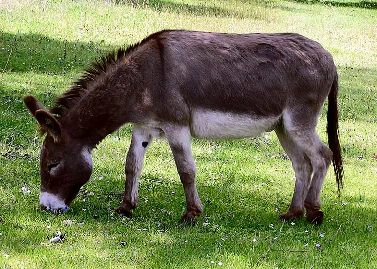 Donkey_1_arp_750px Adrian Pingstone wikapedia commons no copyright.jpg