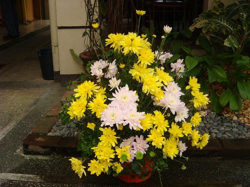 Crysanthemums photo credit Ramon F Velasquez no copyright source wikamedia commons