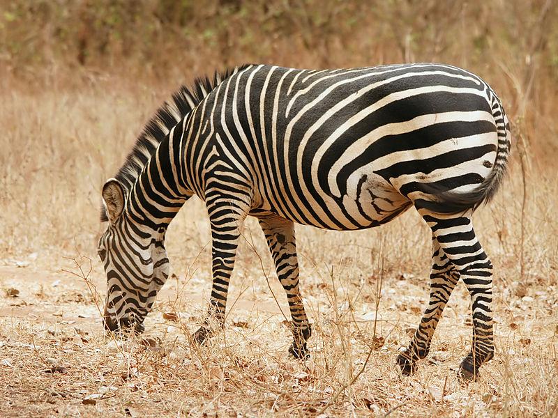 Equus_quagga_boehmi wikimedia commons photo credit Hans Hillewaert, copyright attribution
