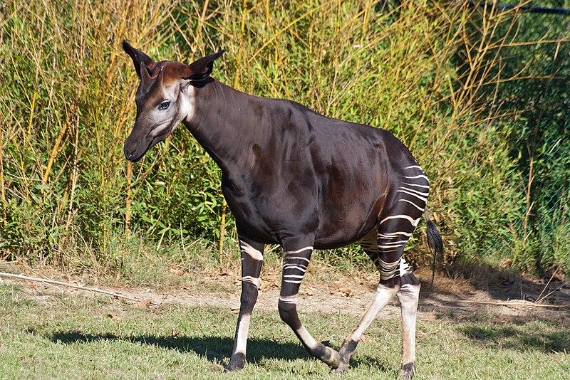 Okapi wikimedia commons Photo credit Daniel Jolivet copyright attribution